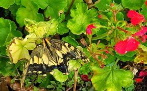 飛べないアゲハ蝶の画像